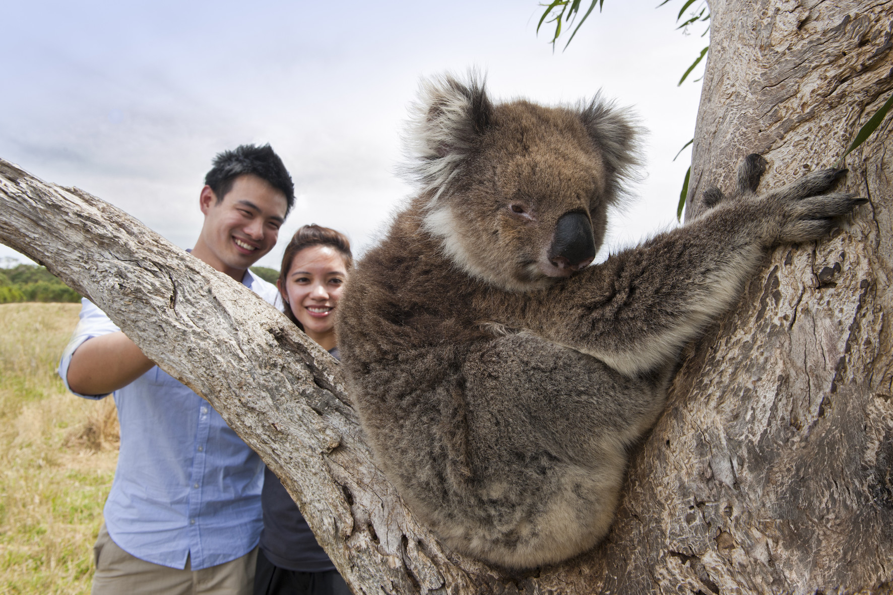 close encounters with wild koalas on this great ocean road tour