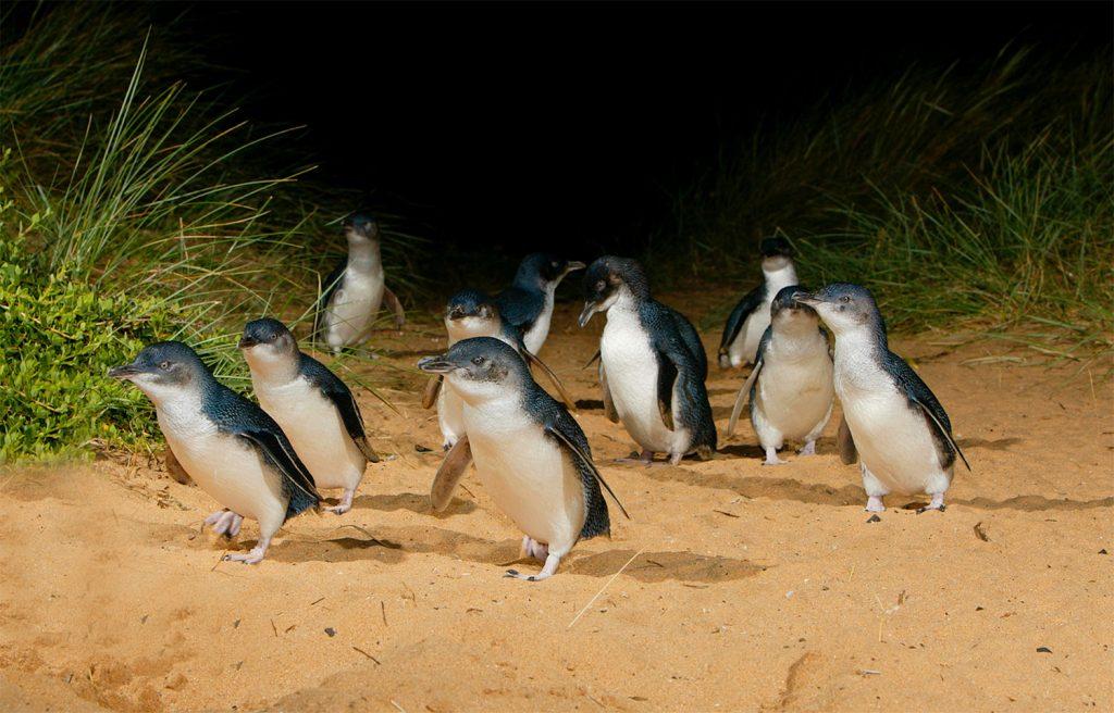 phillip-island-penguins-tour